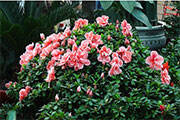 家庭養花簡易除蟲法推薦 家庭養花應該怎么除蟲