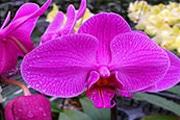 蝴蝶兰怎么繁殖 蝴蝶兰的繁殖方法介绍