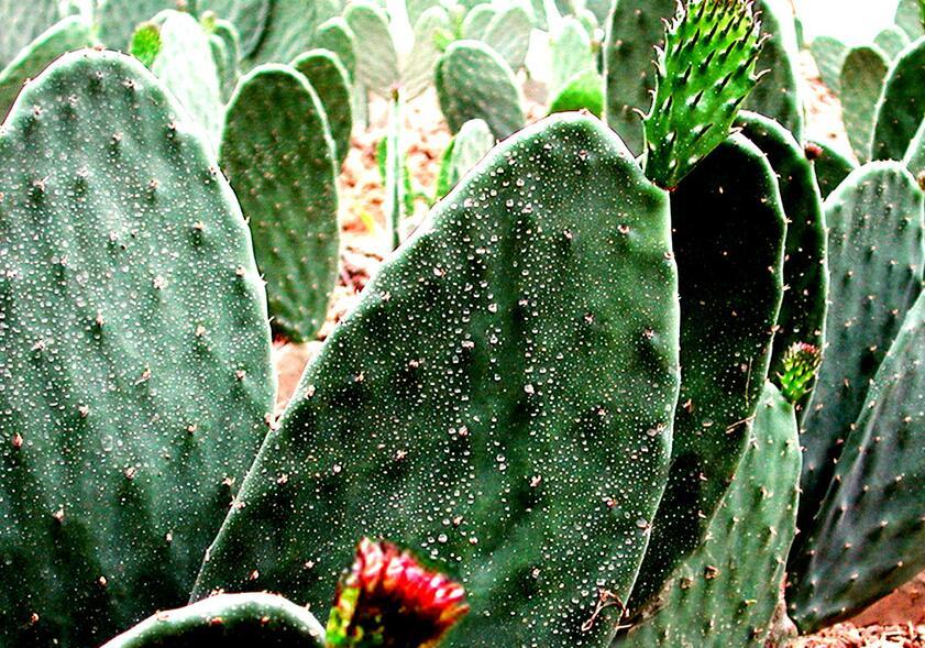 仙人掌怎么繁殖下一代,仙人掌的四种繁殖方法