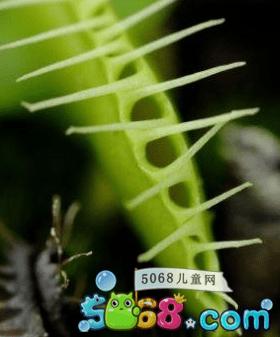 捕蝇草捕蝇草高清图片欣赏