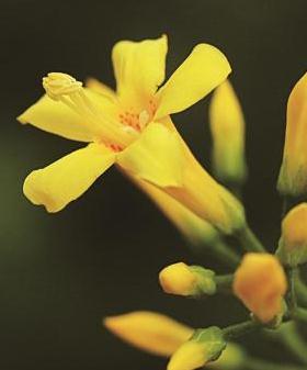 钩吻生态特征|植物文化|主要价值