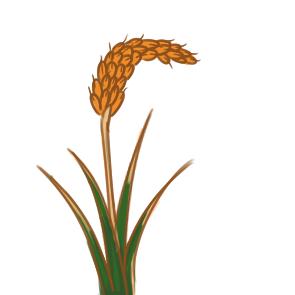 金黄色的水稻简笔画要怎么画